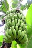 Palmera del plátano Imagen de archivo libre de regalías