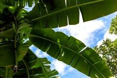 Palmera del plátano Imagenes de archivo