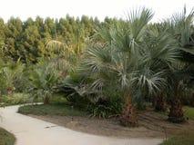 Palmera en el parque, Dubai, UAE Imagenes de archivo