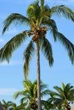Palmera México del coco Foto de archivo libre de regalías