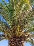 Palmera and seeds Stock Image