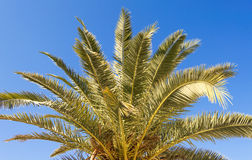 Palmera and seeds Royalty Free Stock Photos