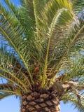 Palmera y semillas Imagen de archivo