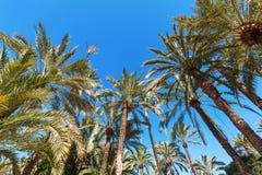 Palmeraie d'Elche, Espagne Photos stock
