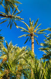 Palmeral d'Elche, Espagne Site d'héritage de l'UNESCO images libres de droits