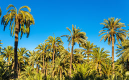 Palmeral de Elche, Spain Local da herança do Unesco Fotografia de Stock