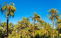 Palmeral di Elche, Spagna Sito di eredità dell'Unesco Fotografia Stock