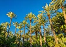 Palmeral di Elche, Spagna Sito di eredità dell'Unesco immagini stock libere da diritti
