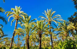 Palmeral Elche, Ισπανία Περιοχή κληρονομιάς της ΟΥΝΕΣΚΟ στοκ εικόνες