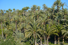 Palmeral of Elche, Spain. The most southern palm grove in Europe Stock Photography
