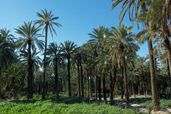 Palmeral of Elche, Spain Royalty Free Stock Images
