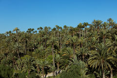 Palmeral of Elche, Spain Stock Image