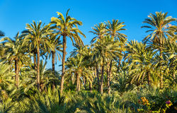 Palmeral of Elche, Spain. UNESCO heritage site Royalty Free Stock Photography