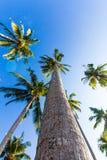 Palmeras agradables en el cielo soleado azul Fotografía de archivo