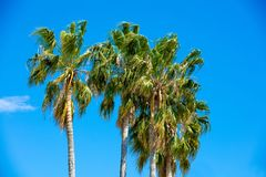 Palmeras altas contra el cielo azul Imagenes de archivo