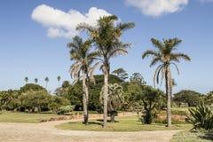 Palmeras altas grandes en un parque de la ciudad imágenes de archivo libres de regalías