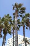 Palmeras azotadas por el viento con el cielo azul Fotografía de archivo