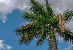 Palmeras con el cielo azul Fotografía de archivo
