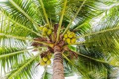 Palmeras con el coco en la playa Imagen de archivo libre de regalías
