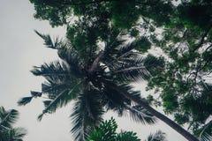 Palmeras con los cocos Sri Lanka Fotos de archivo libres de regalías