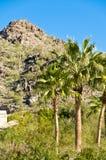 Palmeras de Arizona Imágenes de archivo libres de regalías