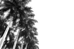 Palmeras contra el cielo Fotos de archivo libres de regalías