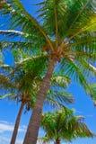 Palmeras contra el cielo azul Fotografía de archivo