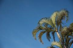 Palmeras contra un cielo azul brillante Foto de archivo libre de regalías