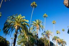 Palmeras de California Imagen de archivo libre de regalías