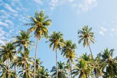 Palmeras debajo del cielo azul en Goa, la India imagen de archivo libre de regalías