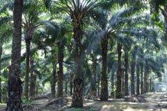 Palmeras del aceite en guineensis del elaeis de la plantación Imagen de archivo