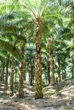 Palmeras del aceite en guineensis del elaeis de la plantación Fotografía de archivo libre de regalías