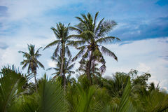Palmeras del coco con el fondo del cielo azul Fotos de archivo