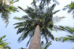 Palmeras del coco con la opinión del cielo Imagen de archivo
