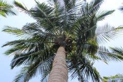 Palmeras del coco con la opinión del cielo Imagenes de archivo