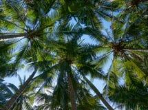 Palmeras del coco con los cocos Imagen de archivo libre de regalías