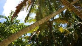 Palmeras del coco en una isla tropical Voluta de arriba a abajo almacen de metraje de vídeo