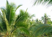 Palmeras del coco, plantación del coco de la mañana en salida del sol Fotos de archivo libres de regalías