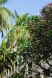 Palmeras del coco, plumeria, cielo azul y arquitectura Fotos de archivo libres de regalías