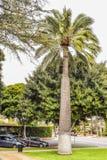 Palmeras en Beverly Gardens Park Fotos de archivo libres de regalías