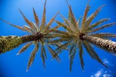 Palmeras en un cielo azul Imagenes de archivo