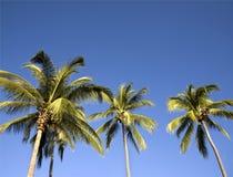 Palmeras en un cielo azul Imágenes de archivo libres de regalías