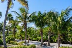 Palmeras en un jardín tropical del centro turístico Fondo del cielo azul Roatan, Honduras Imagen de archivo