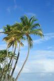 Palmeras exóticas del coco Imagen de archivo libre de regalías