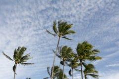 Palmeras hawaianas Foto de archivo libre de regalías
