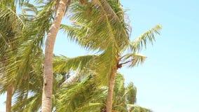 Palmeras hermosas en la isla tropical en el océano Las palmeras del coco del paisaje del verano en el mar varan en bckground del  almacen de video