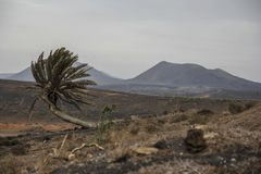 Palmeras Lanzarote. Palm trees in volcanic area Stock Image