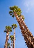 Palmeras que se elevan en el Palm Springs del cielo azul Imagen de archivo