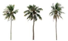 Palmeras verdes del coco en el jardín aislado Fotografía de archivo libre de regalías