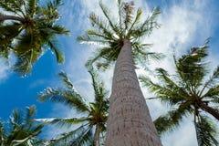 Palmeras y cielo del coco Imagen de archivo